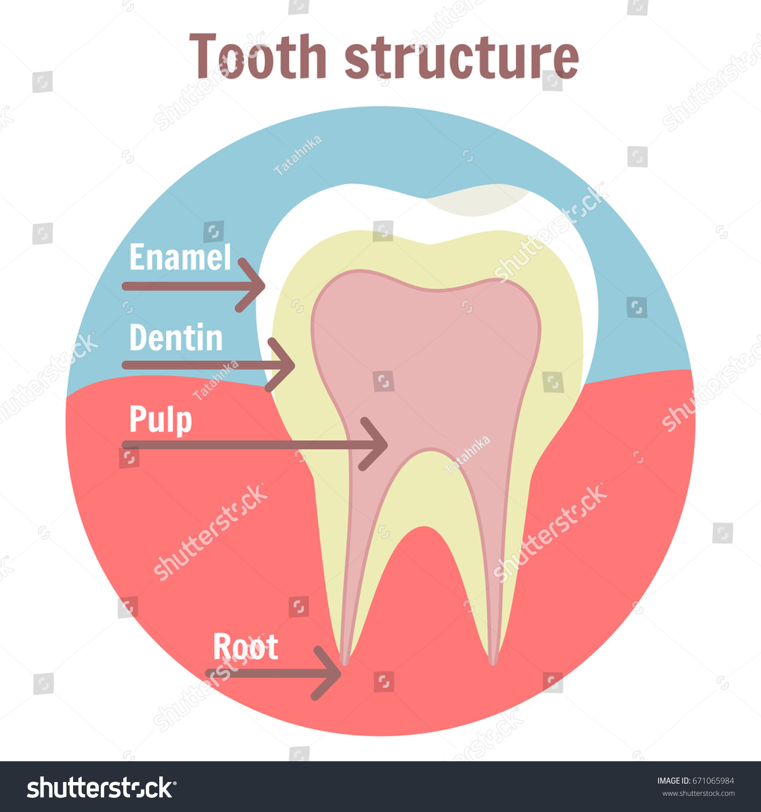 Dental tooth structure medical diagram structure stock vector medical diagram of the structure of human tooth dentist clean teeth pooptronica Images