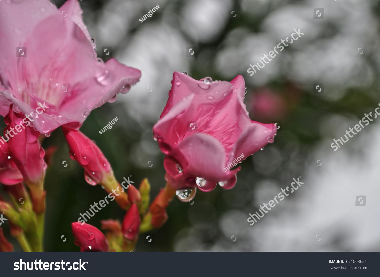 Nerium oleander nerium flower called south stock photo edit now nerium oleander nerium flower called in south india arali in tamil laugage izmirmasajfo