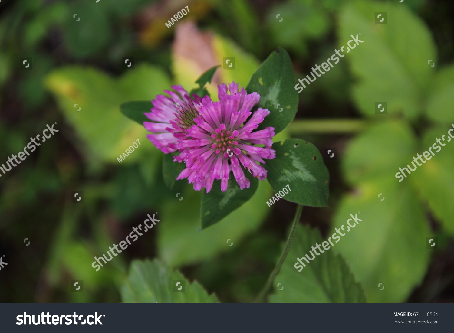 Pink Clover Flower Among Green Grass Ez Canvas