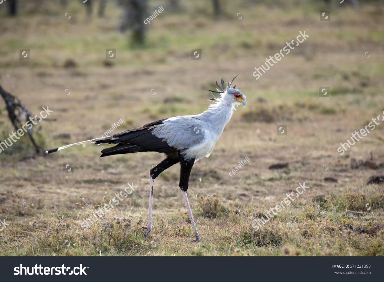 stock-photo-a-beautiful-secretary-bird-s