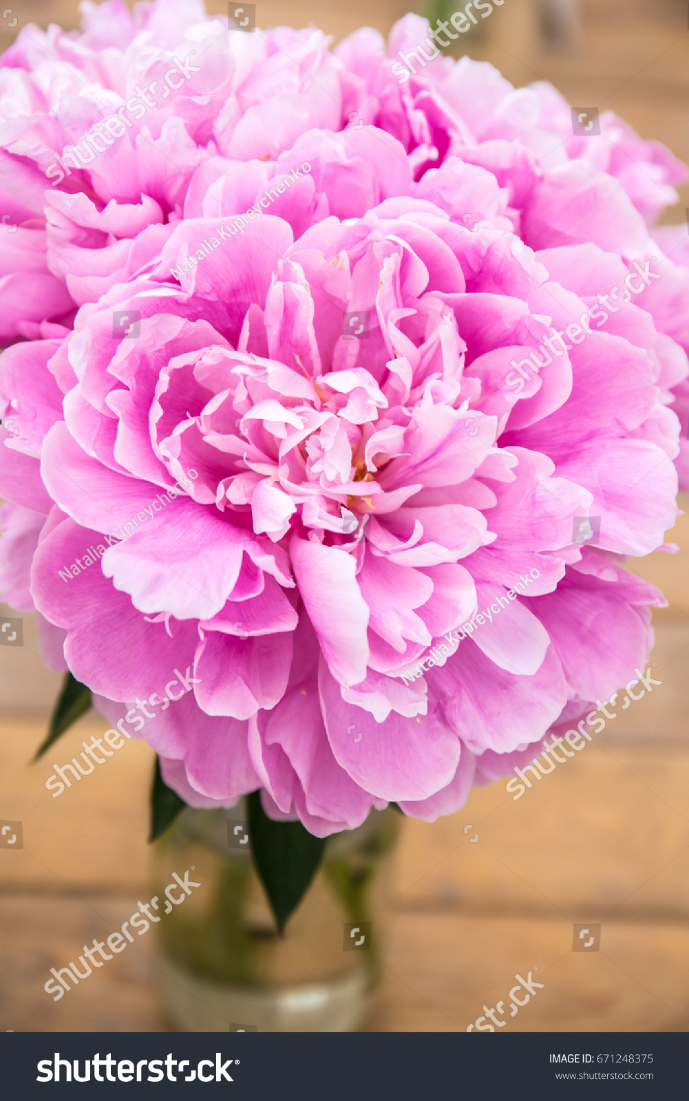 lovely pink peony for greeting card and wallpaper. close up