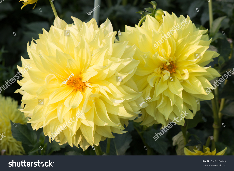 Dahlias flower ez canvas izmirmasajfo