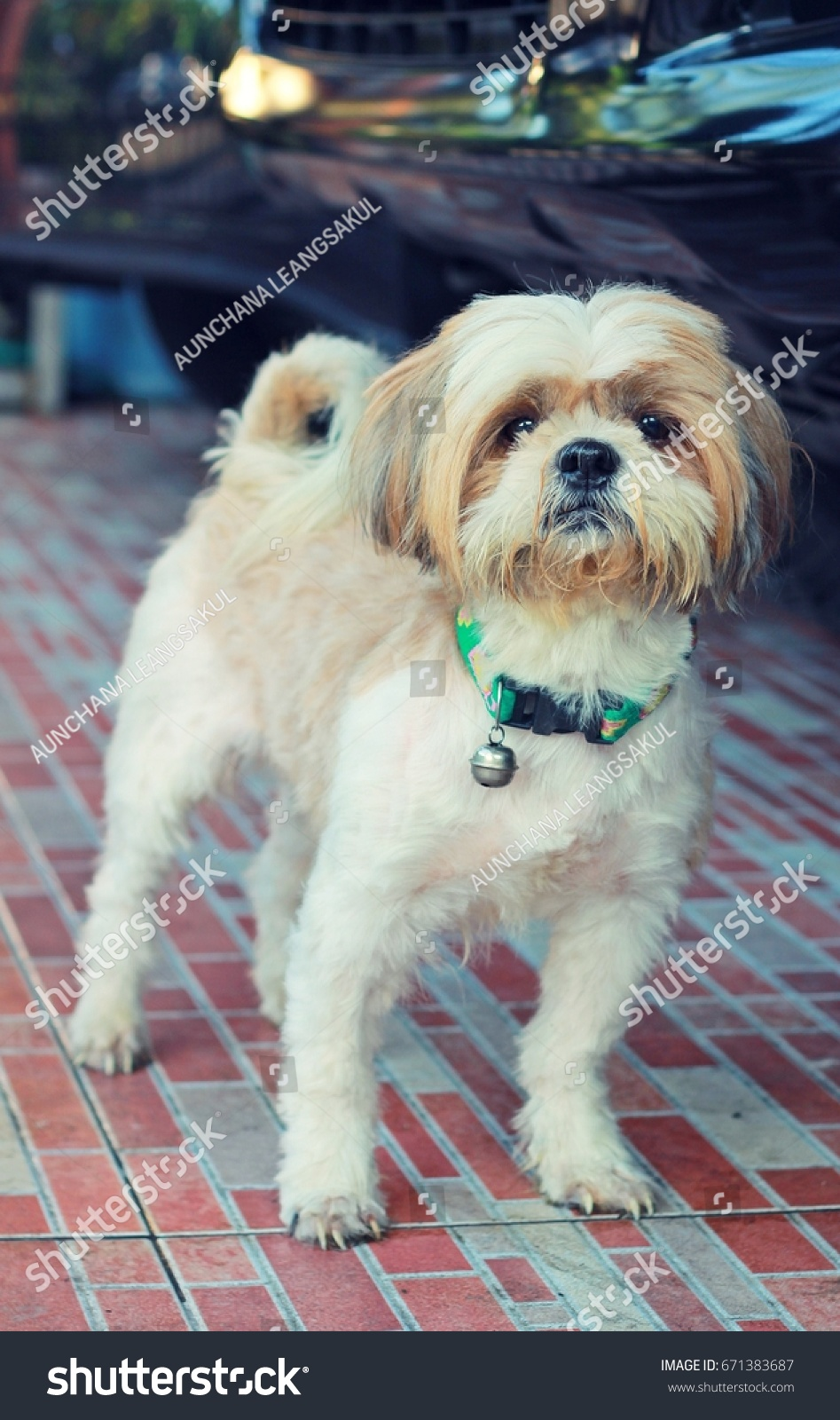 Dog Shih Tzu Short Hair White Stock Photo Edit Now 671383687