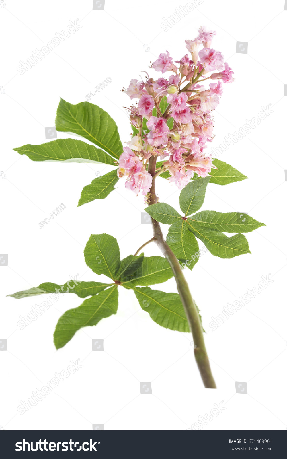 A Flowering Apple Tree Branch Isolated On White Background Ez Canvas
