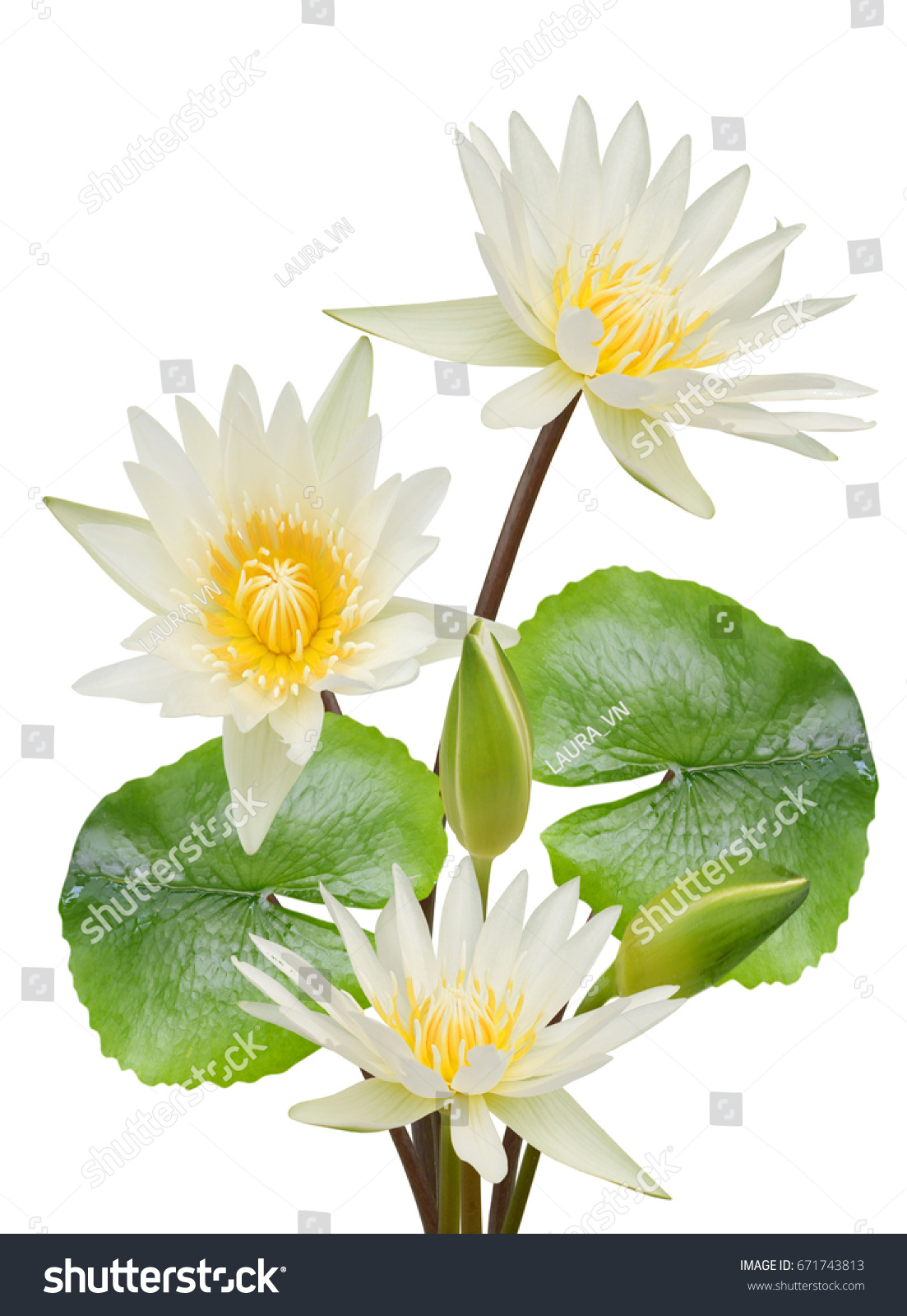 Beautiful White Water Lily Flower Bouquet Stock Photo Edit Now