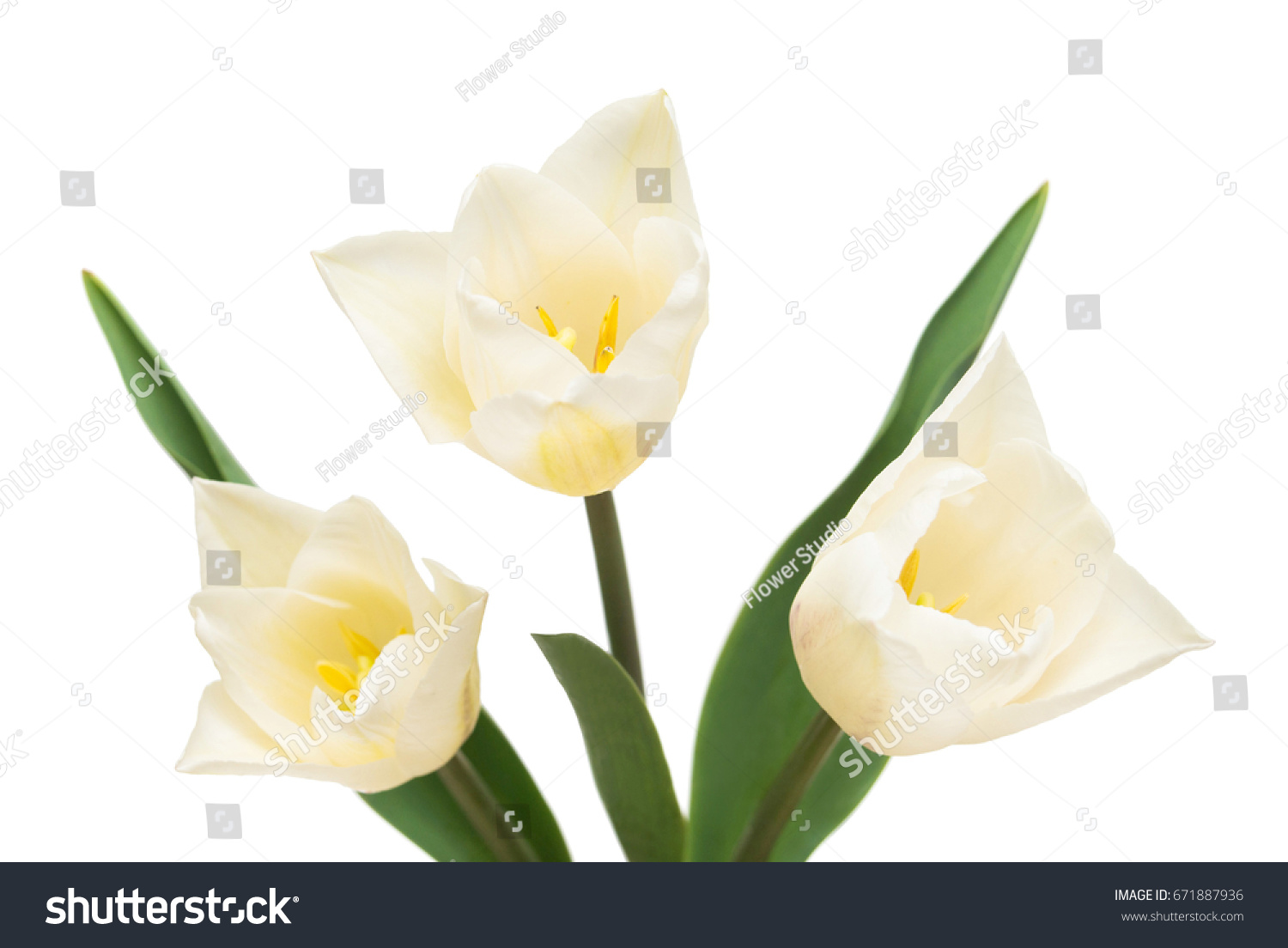 Bouquet Beautiful Tulips Flowers Isolated On White Background Still