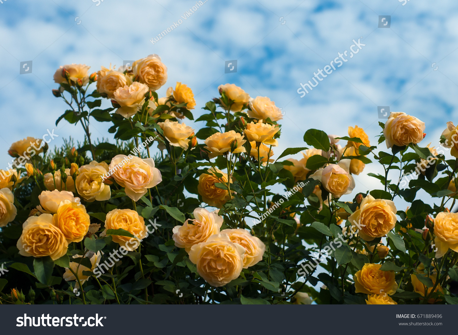 Yellow Roses On Blue Sky Background Stock Photo Edit Now 671889496