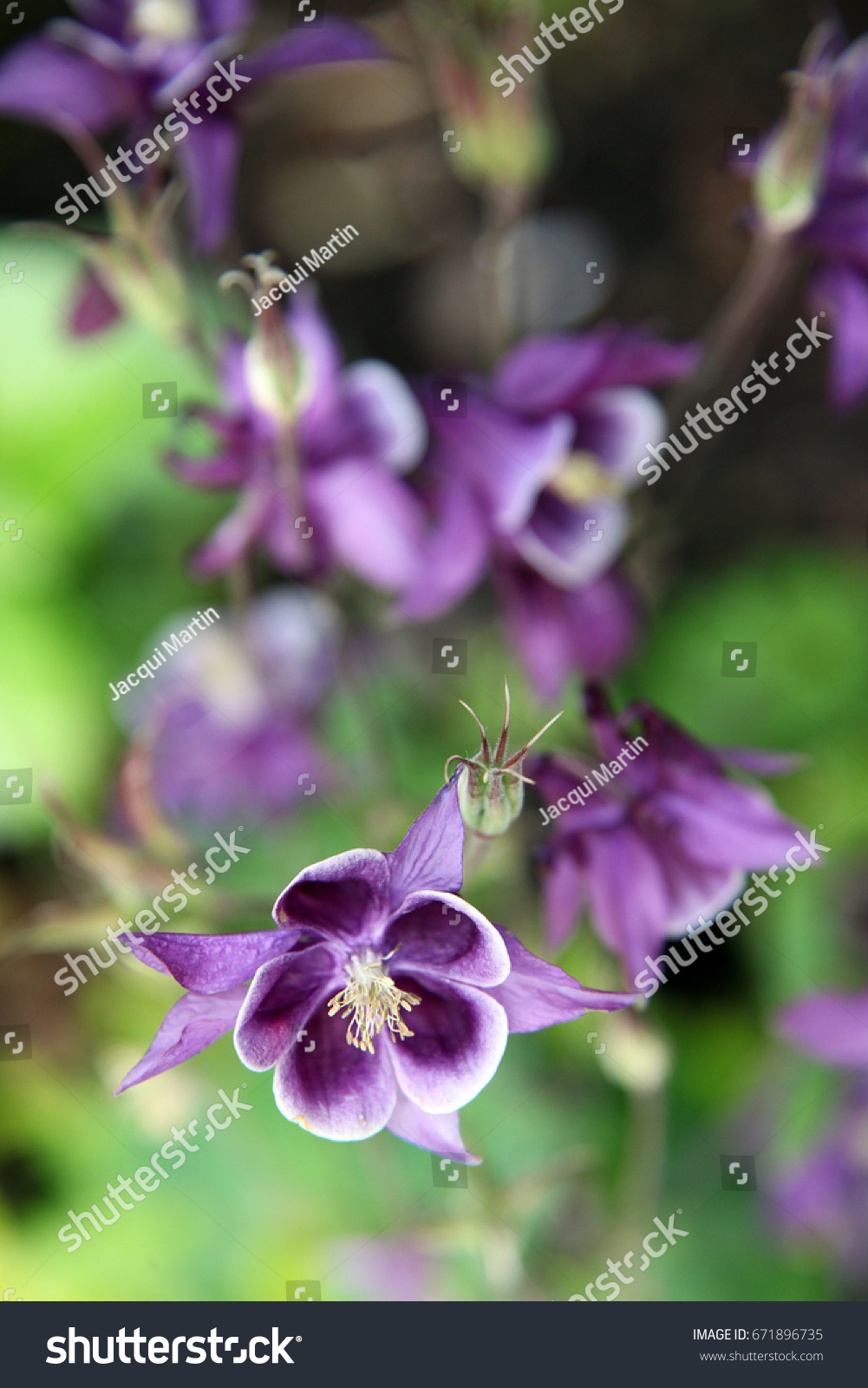 Pretty purple grannys bonnet flowers stock photo royalty free pretty purple grannys bonnet flowers stock photo royalty free 671896735 shutterstock mightylinksfo