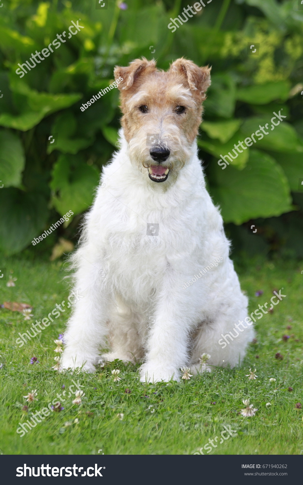 Beautiful Wire Fox Terrier Rescue Image Collection - Electrical and ...