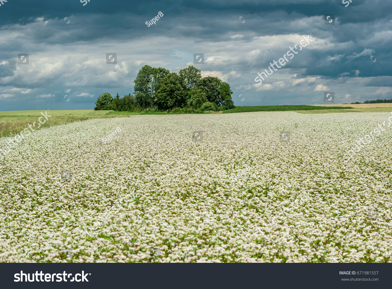 Buckwheat Blooms Field White Flowers Sky Stock Photo Edit Now