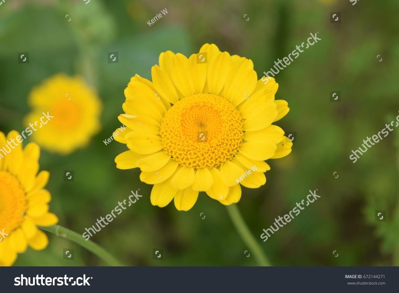 Yellow Daisylike Flower Stock Photo Royalty Free 672144271