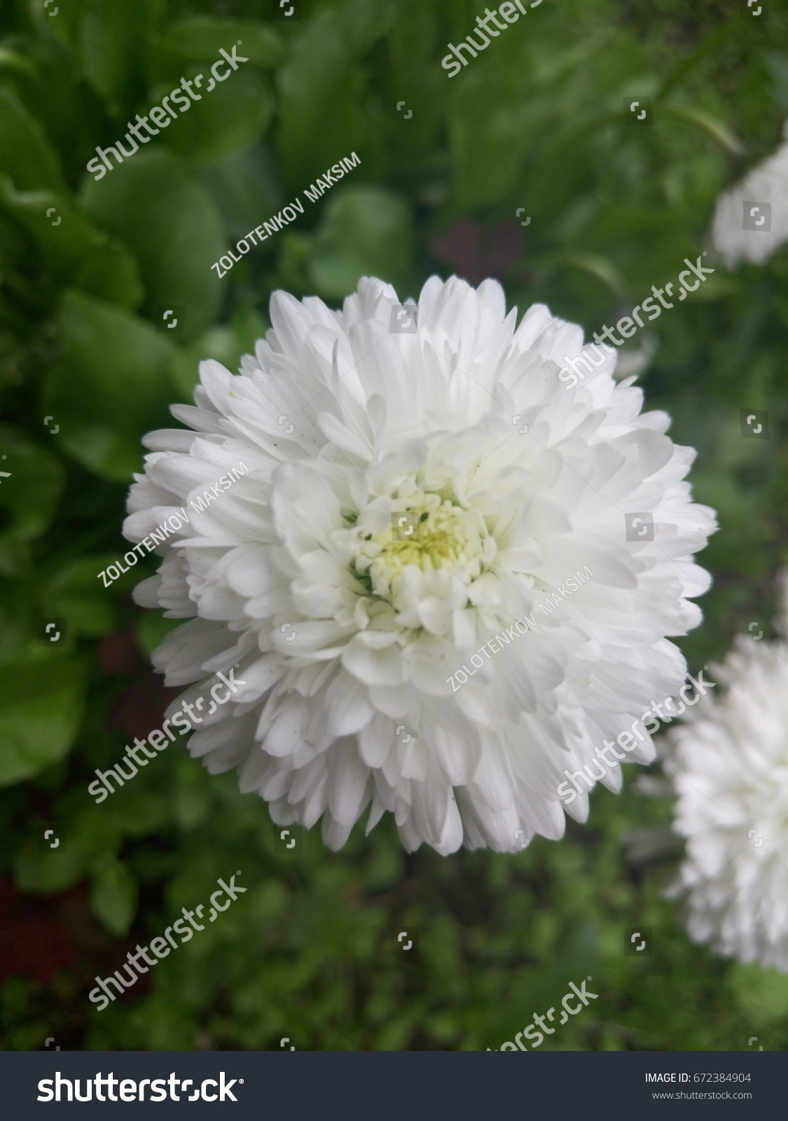 White Flower Round Small Petals Stock Photo Edit Now 672384904