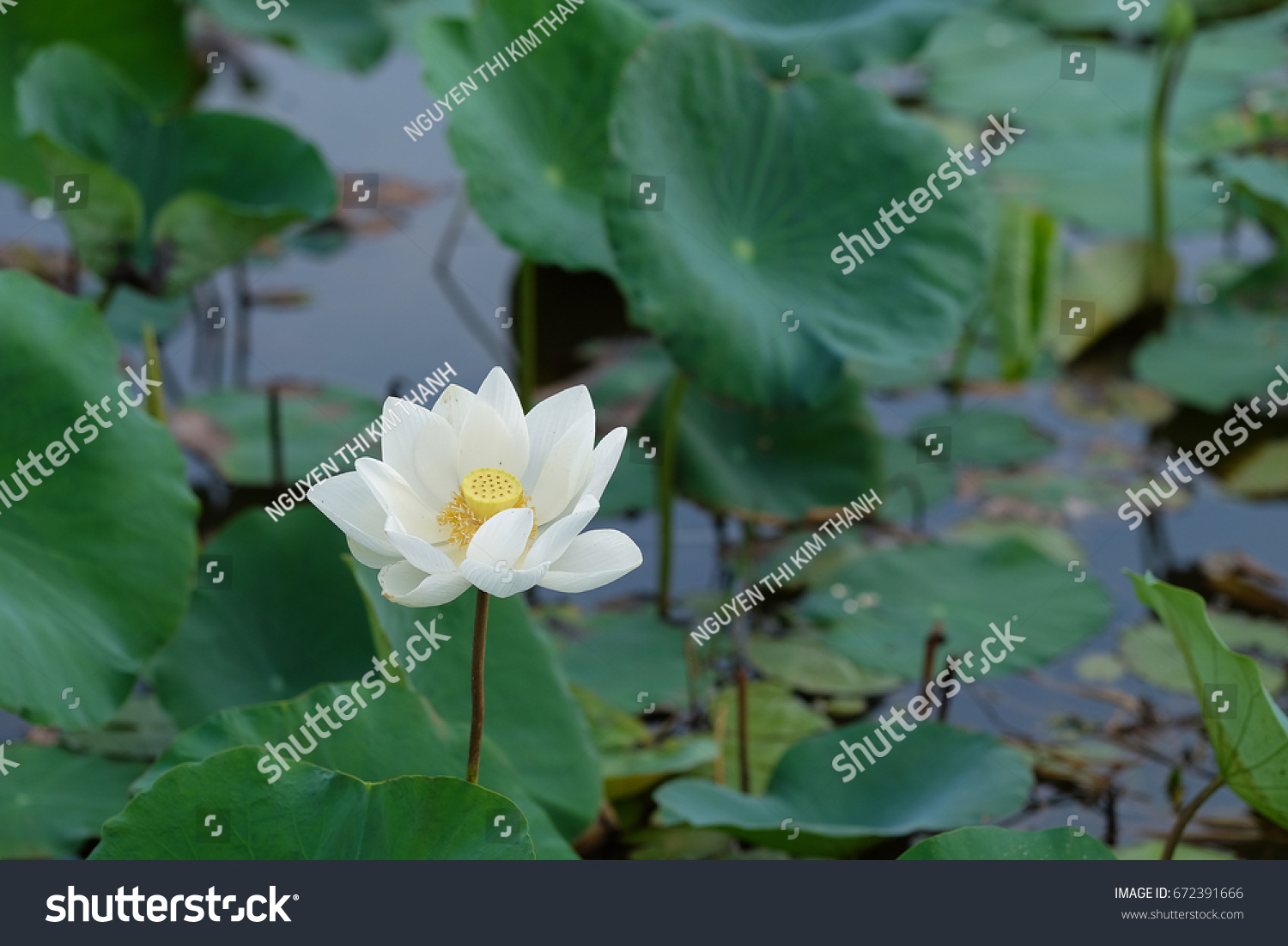 Lotus Flower Pink Red Yellow Colour Stock Photo Edit Now 672391666