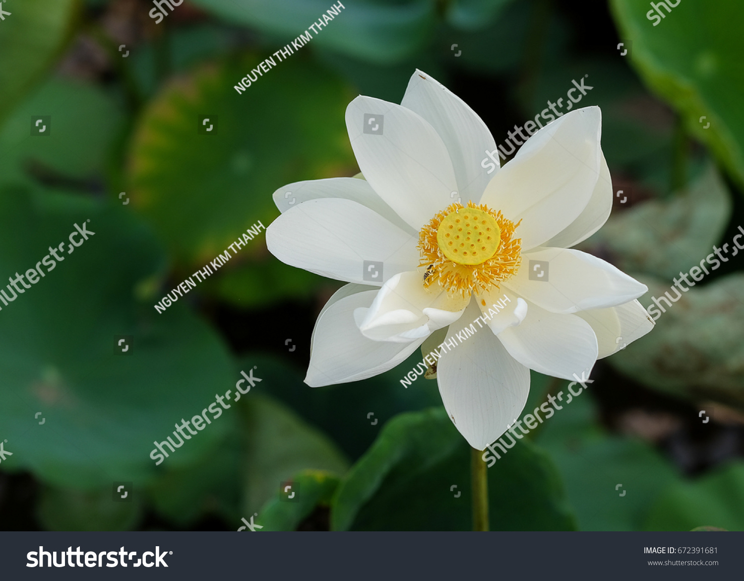 Lotus Flower Pink Red Yellow Colour Stock Photo Edit Now 672391681