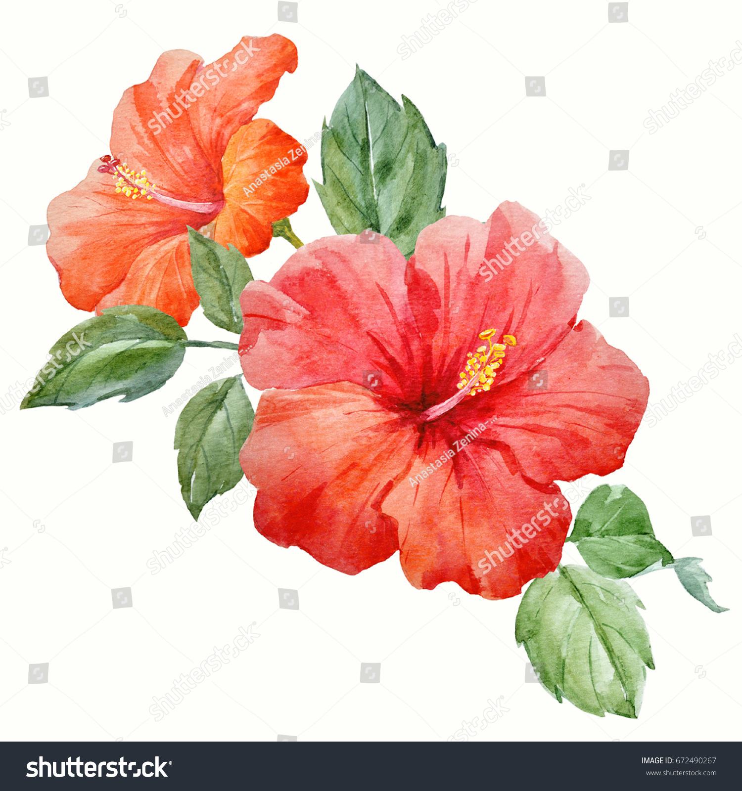 Watercolor Tropical Flower Red Orange Hibiscus Stock Illustration