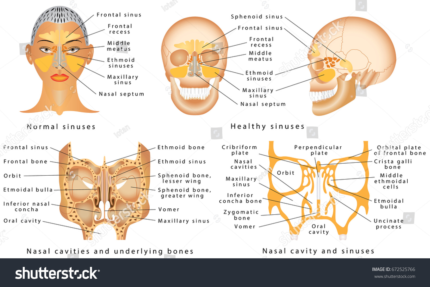 Sinuses Nose Human Anatomy Sinus Diagram Stock Vector 672525766