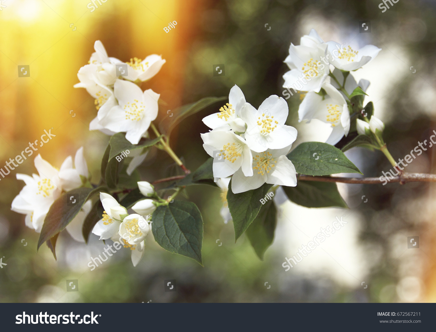 Branch On An Apple Blossom Tree Full Of White Flowers With Yellow