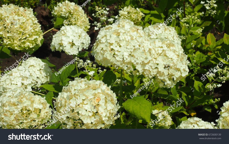 Bush Big White Flowers Stock Photo Edit Now 672600139 Shutterstock
