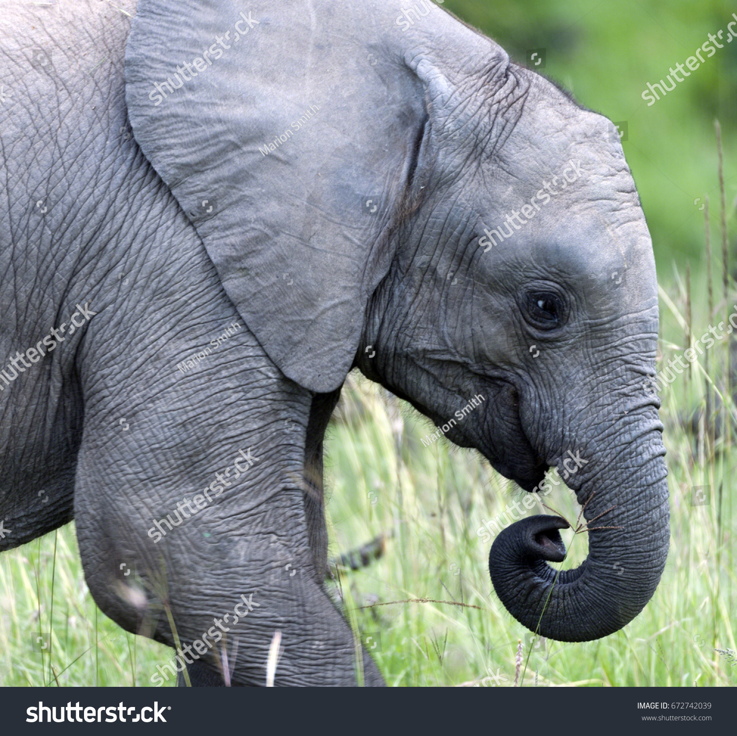 Baby elephant loxodonta africana trunk curled stock photo 672742039 baby elephant loxodonta africana with trunk curled up to mouth whiskers biocorpaavc Images