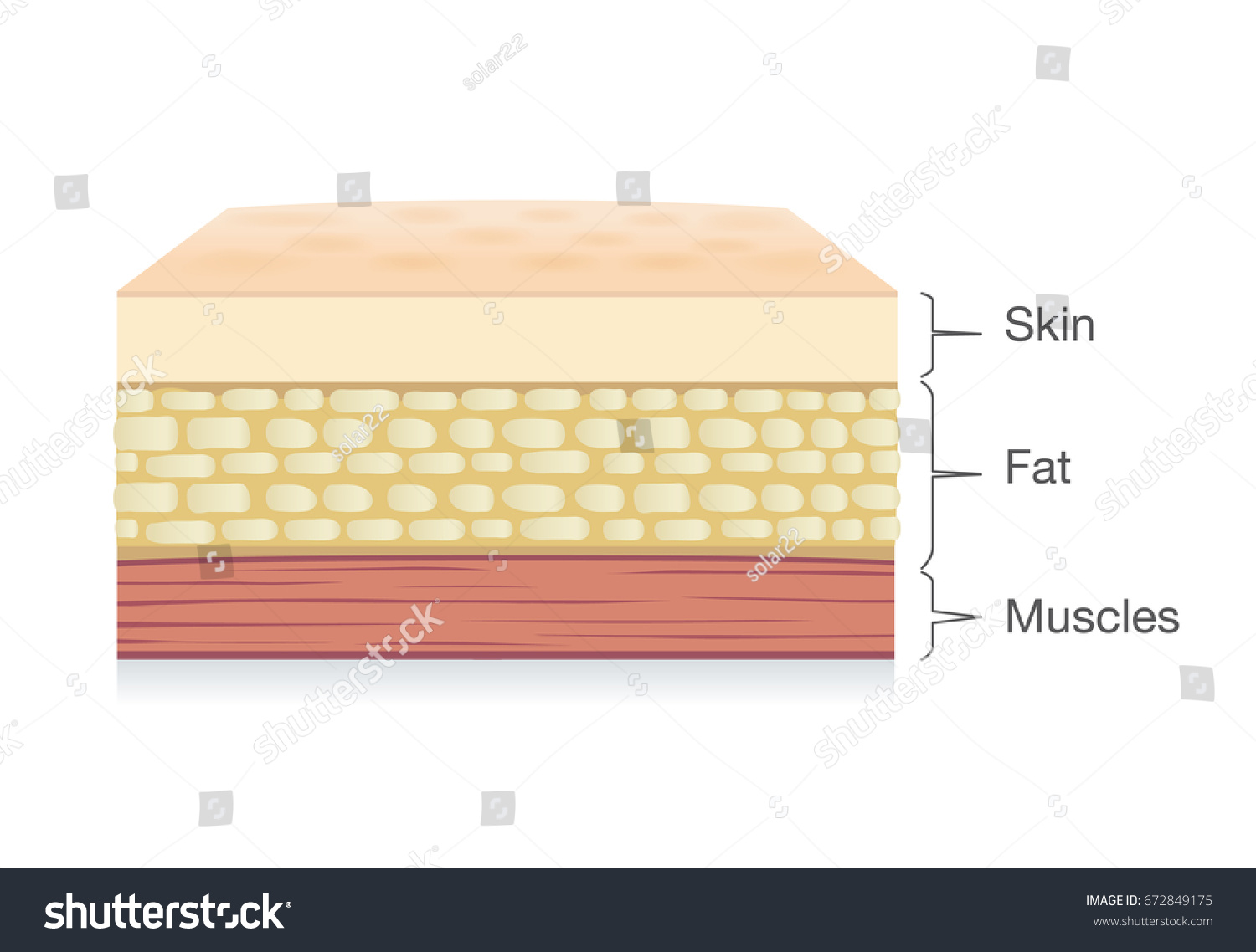 Anatomy Skin Layer Fat Cell Muscle Stock Photo Photo Vector