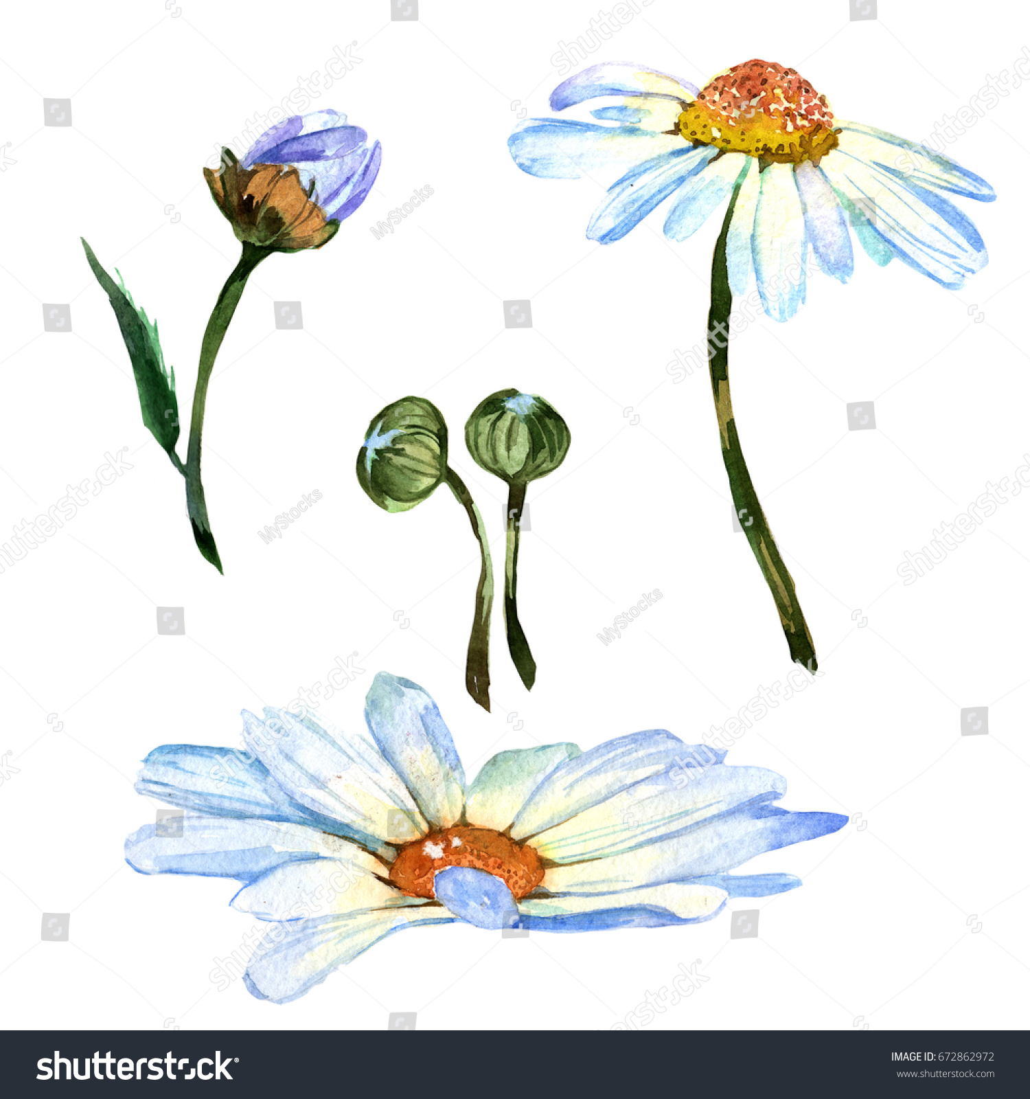 Wildflower Daisy Flower Watercolor Style Isolated Stock Illustration