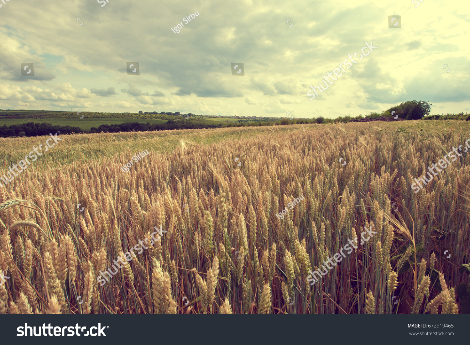 Summer landscape with wheat field. Gold wheat field. Toned. #672919465