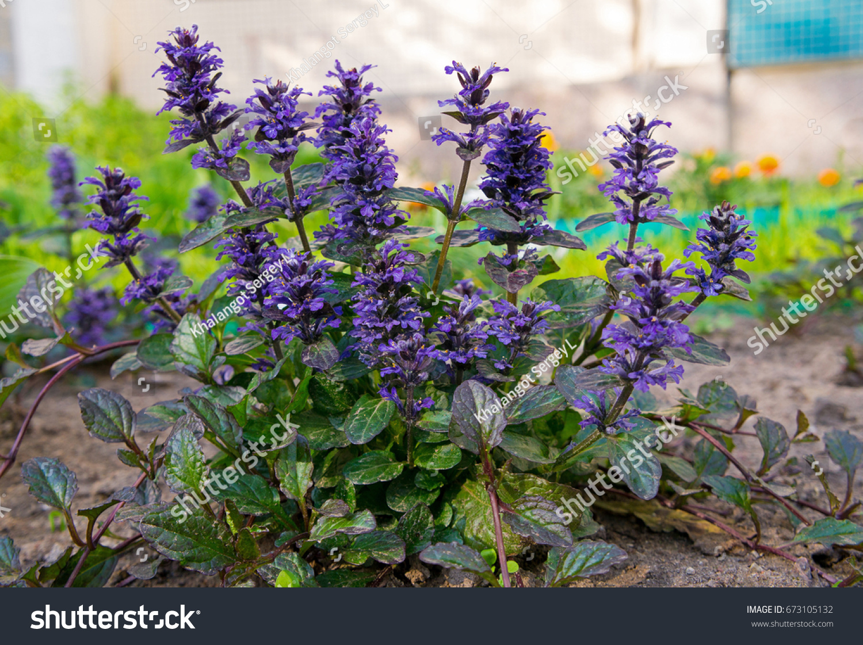 Bush Ajuga Reptans Small Blue Flowers Stock Photo Edit Now