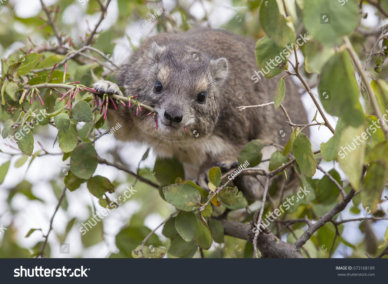 stock-photo-a-cute-tree-hyrax-eating-in-