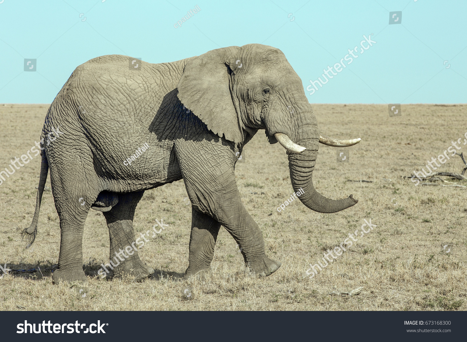 stock-photo-large-bull-elephant-67316830