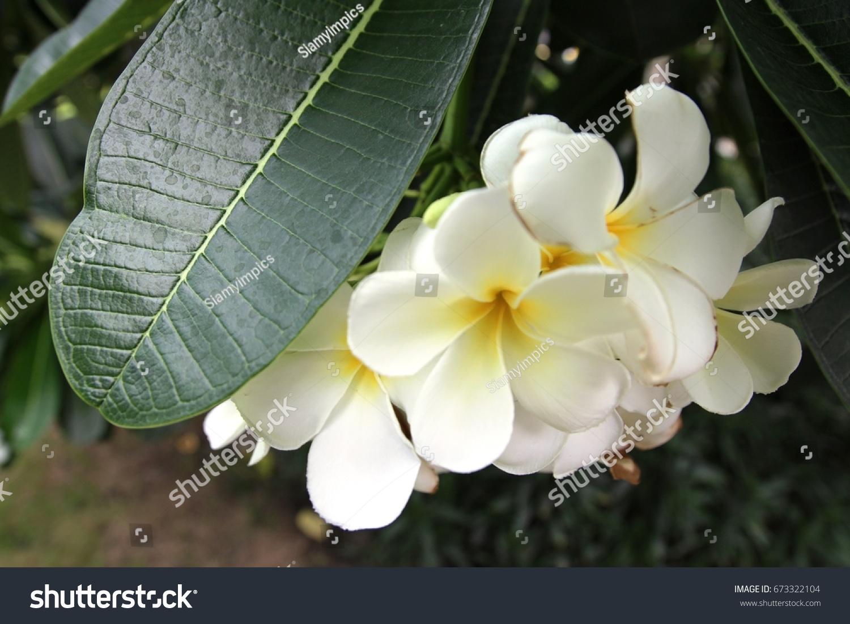 Plumeria Flowers Most Fragrant Night Order Stock Photo Edit Now