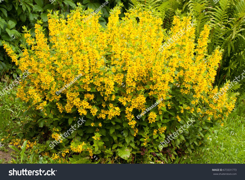 Beautiful Yellow Perennial Flowers Lysimachia Punctata Stock Photo