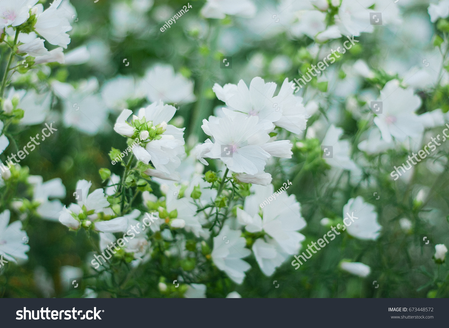 Snowinsummer Plants Have Small White Flowers Stock Photo Edit Now