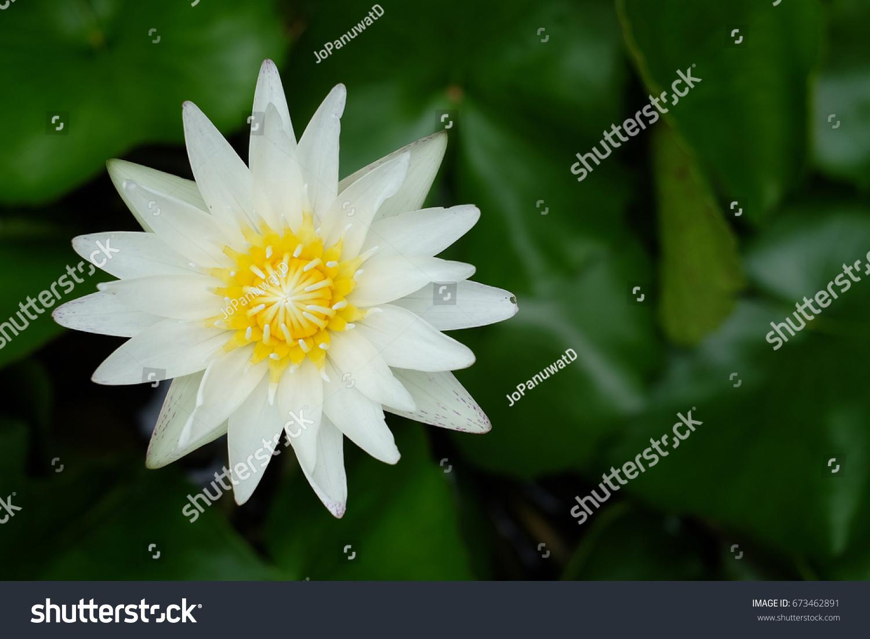 White Lotus Flower Blooming Symbol Buddha Stock Photo Edit Now