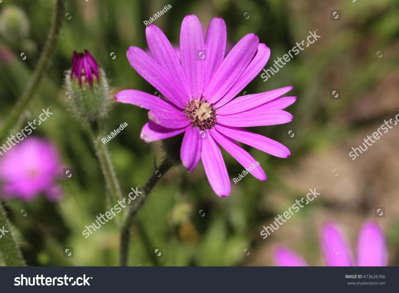Purple Mountain Senecio Flower Or Fireweed Stock Photo Royalty Free