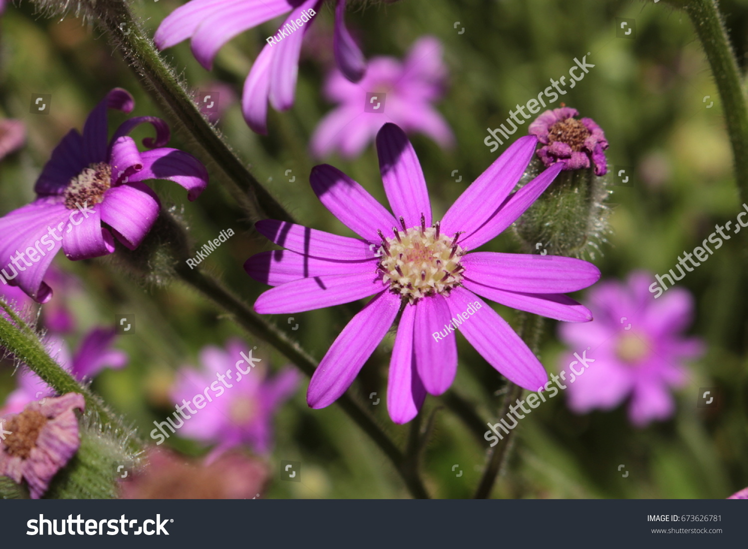 Purple Mountain Senecio Flower Or Fireweed Stock Photo Royalty Free