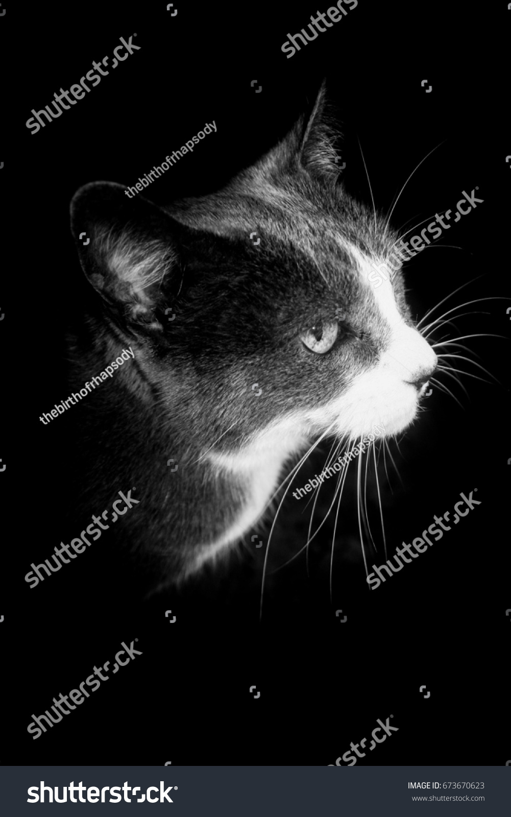 A digitally manipulated, black and white photograph of a grey and white cat. This photo was taken in Brisbane, Australia.  #673670623