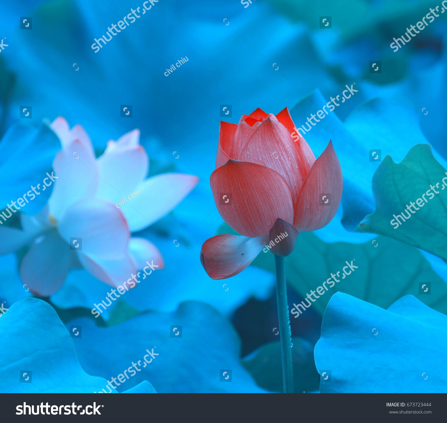 Two Beautiful Different Colors Lotus Flowers Stock Photo Edit Now