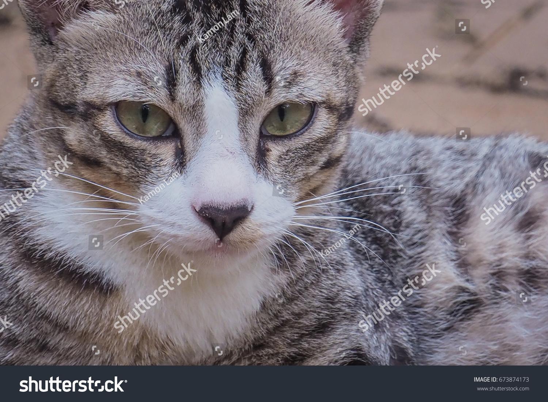 tabby cat ez canvas