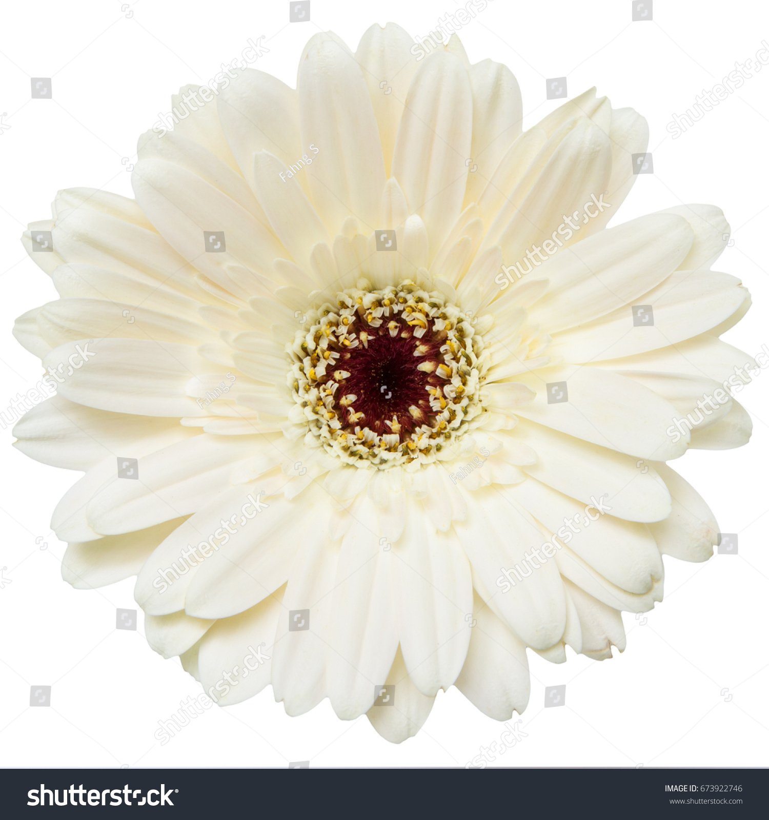 Top View White Gerbera Flower Isolated Stock Photo Royalty Free