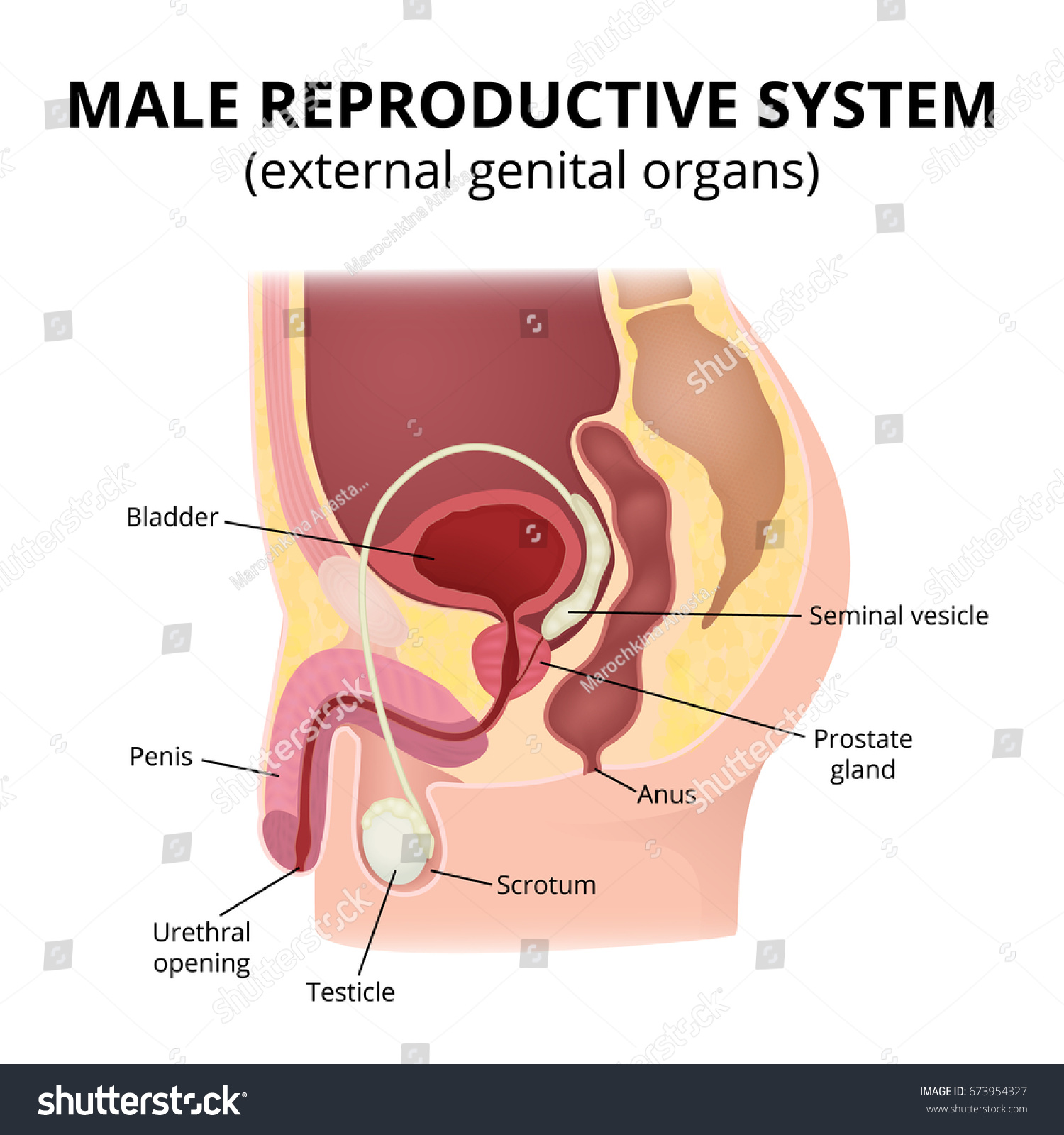 Male Reproductive System Anatomy Male Organs Stock Vector Royalty