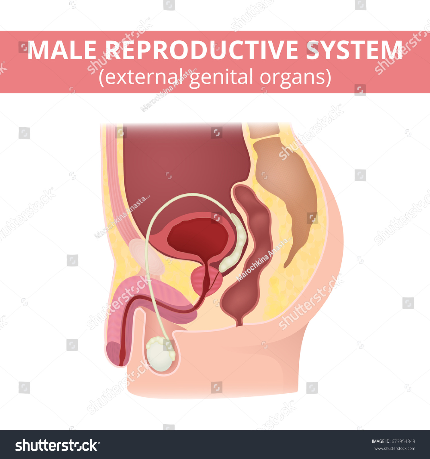Male Reproductive System Anatomy Male Organs Stock Vector 673954348