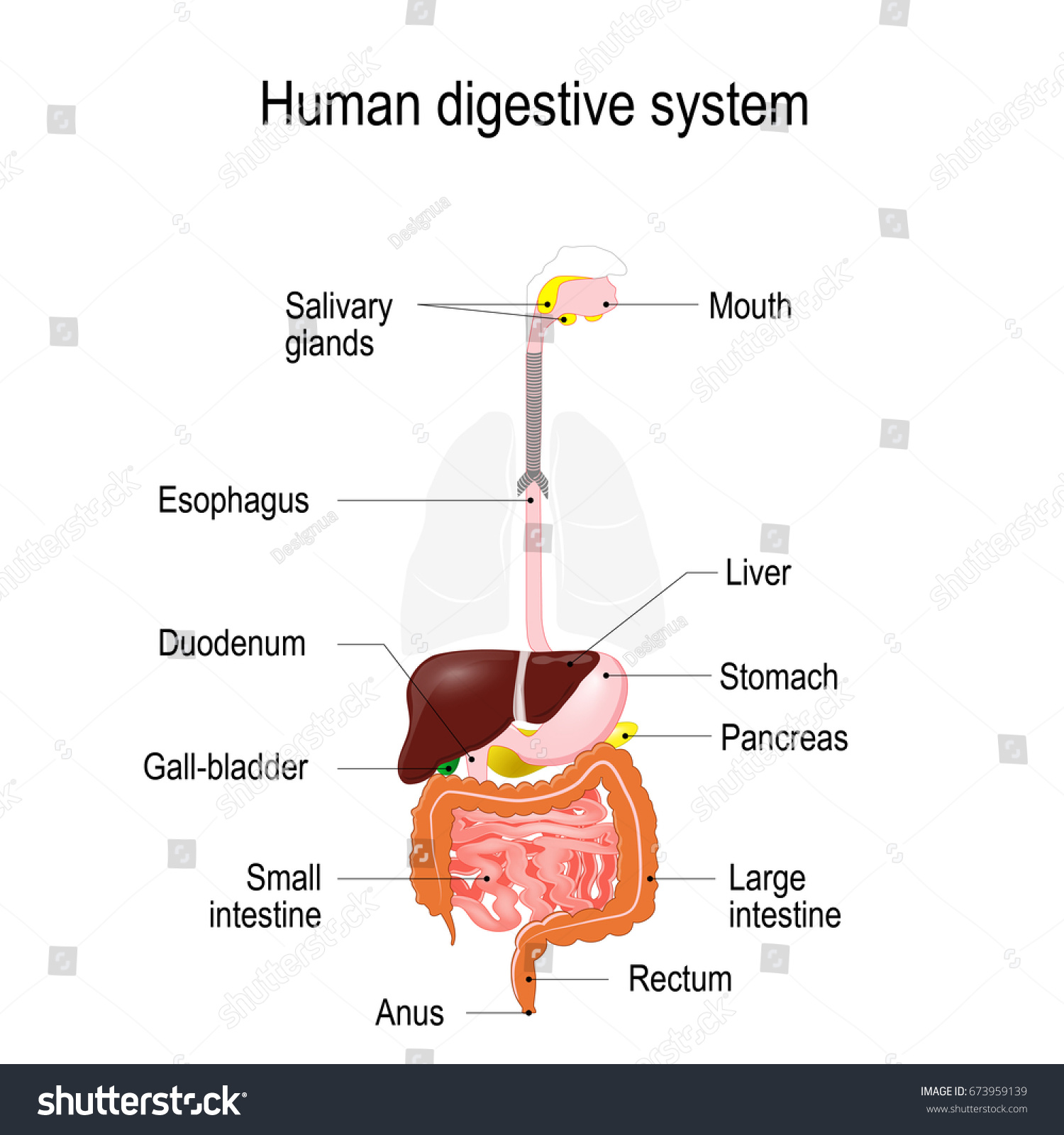 Human Digestive System Location Gastrointestinal Tract Stock Vector