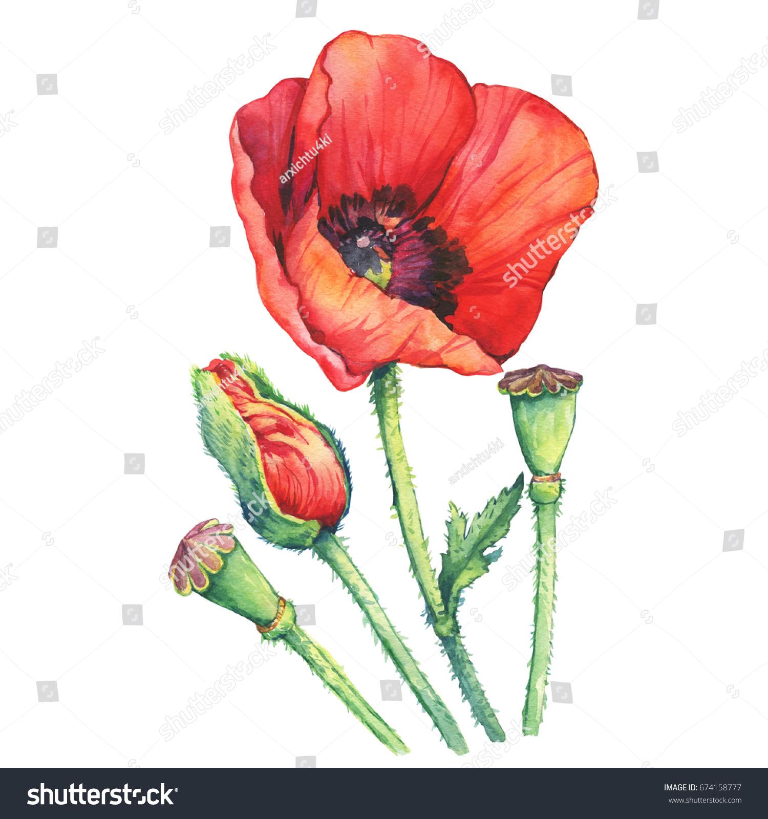Red poppies flowers bud papaver somniferum stock illustration red poppies flowers with a bud papaver somniferum the opium poppy watercolor mightylinksfo