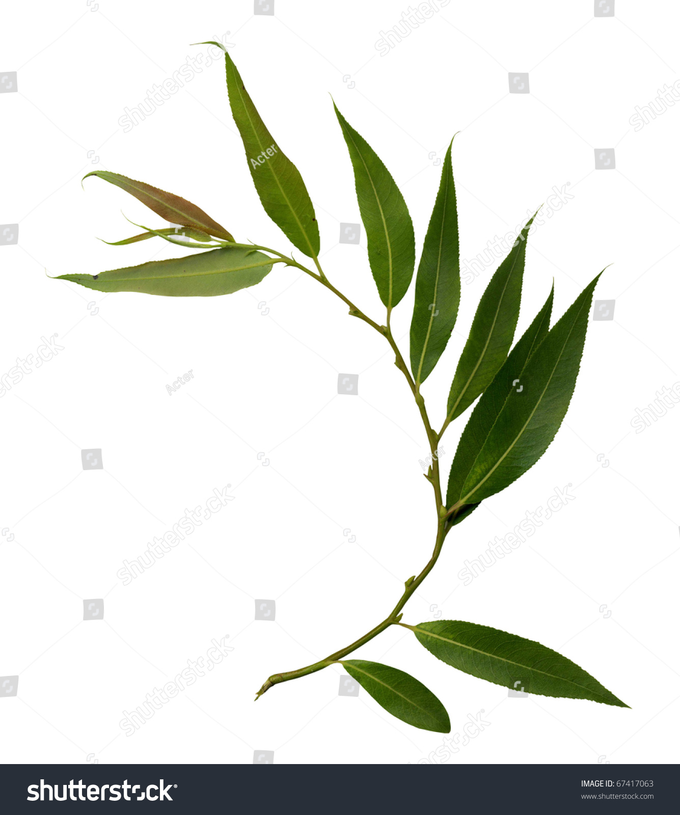 Willow Branch Isolated On White Stock Photo 67417063