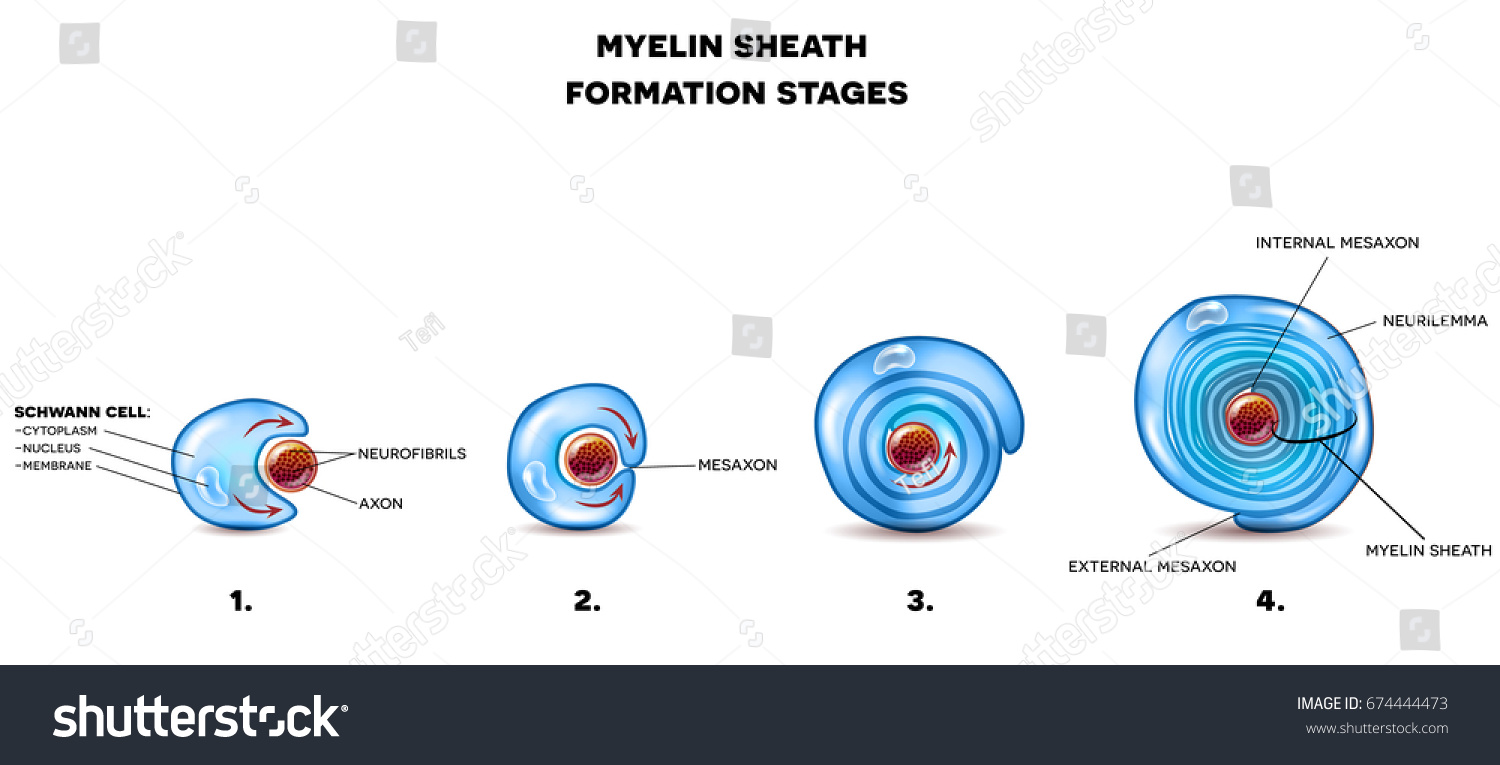 Myelin Sheath Neuron Schwann Cell Envelops Stock Illustration Detailed Diagram A And Rotates Around The Axon Forming