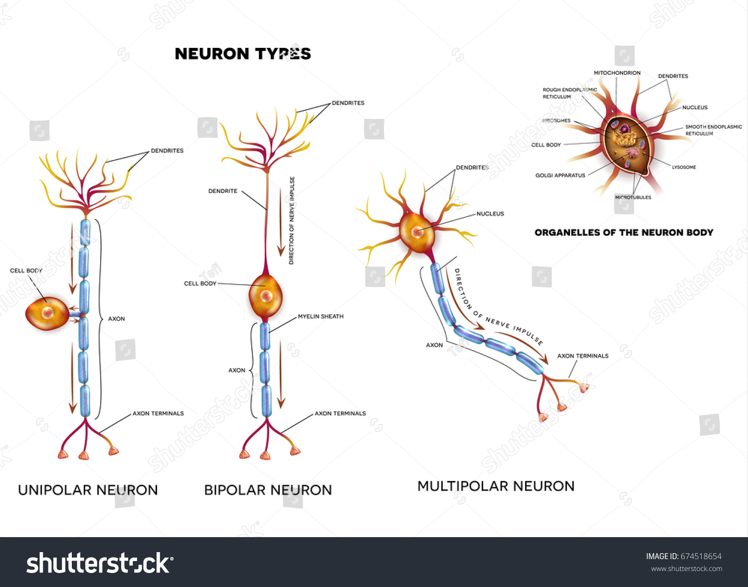 Nerve cell types organelles cell body stock vector 674518654 nerve cell types and organelles of the cell body close up detailed anatomy illustration ccuart Gallery