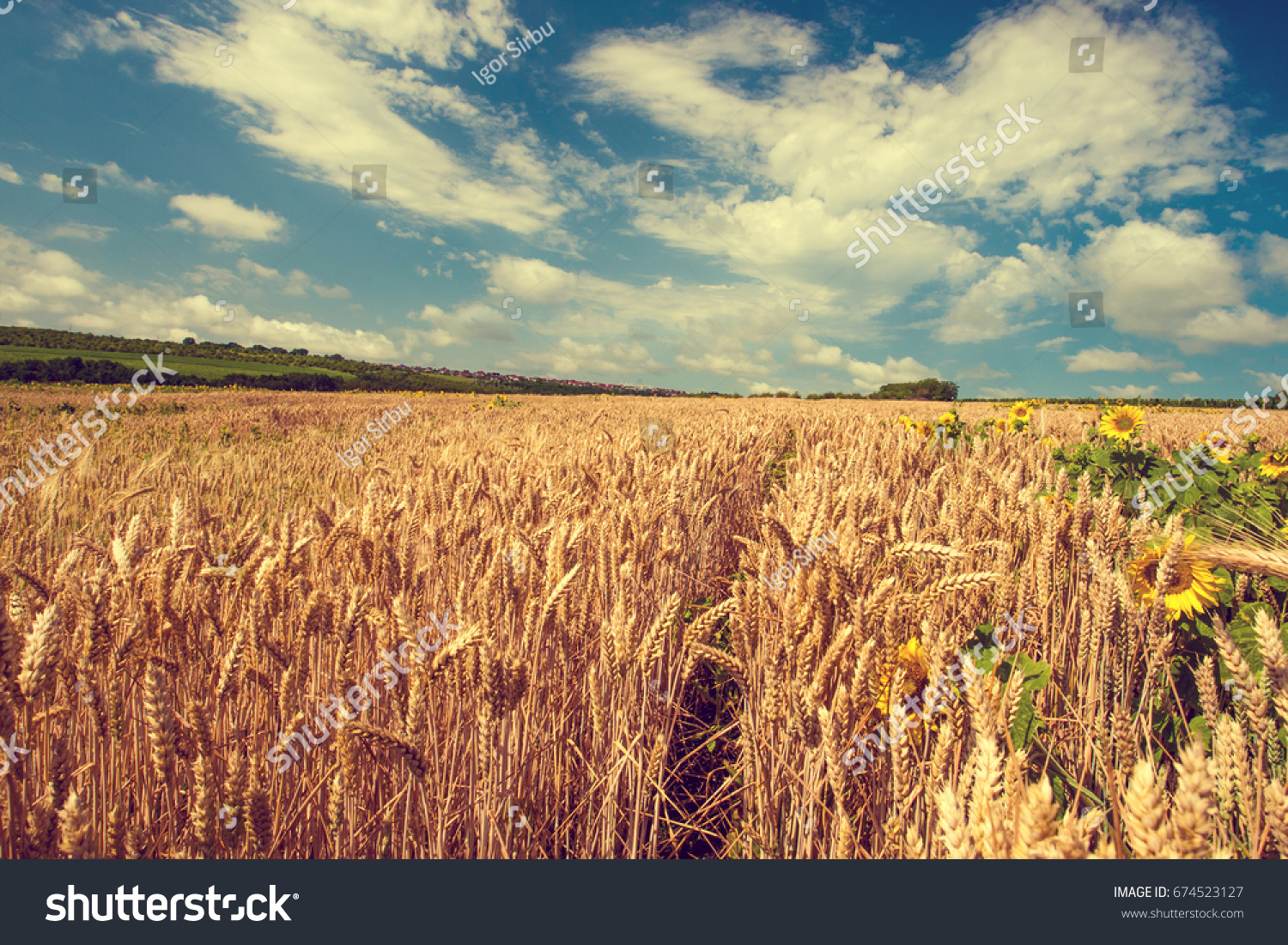 Summer landscape with wheat field and sunflowers. Gold wheat field. Toned. #674523127