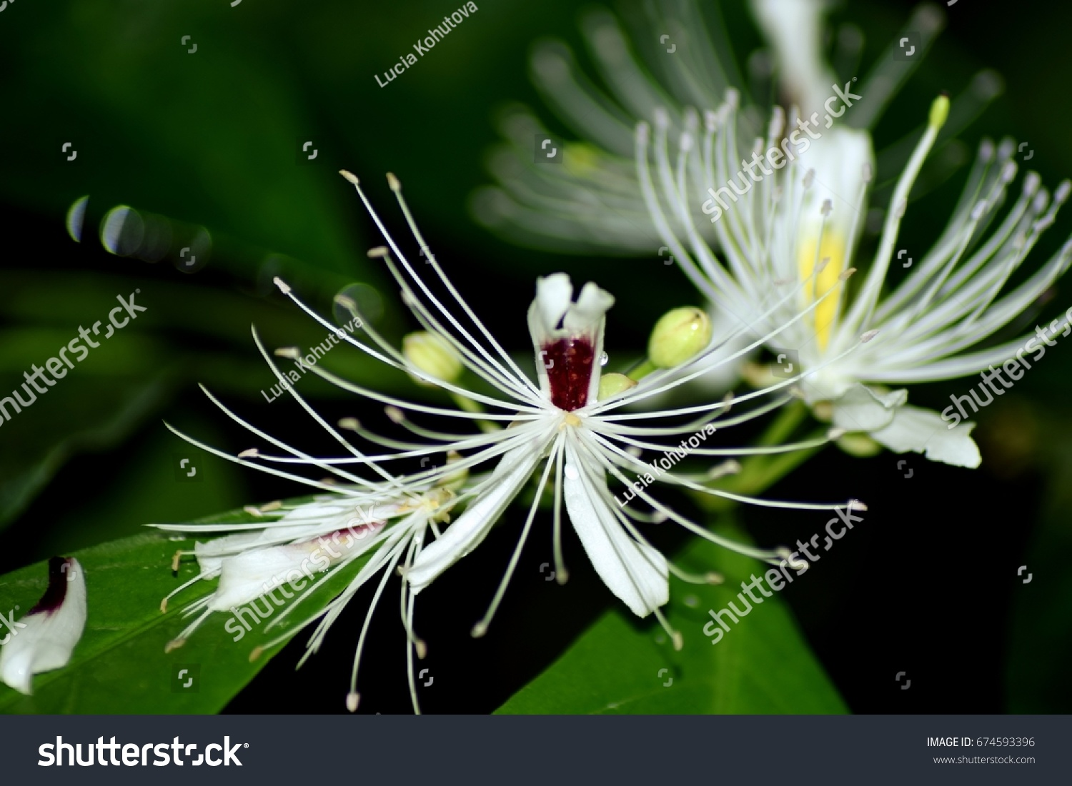 Tropical White Flowers Long Thin Petalson Stock Photo Edit Now