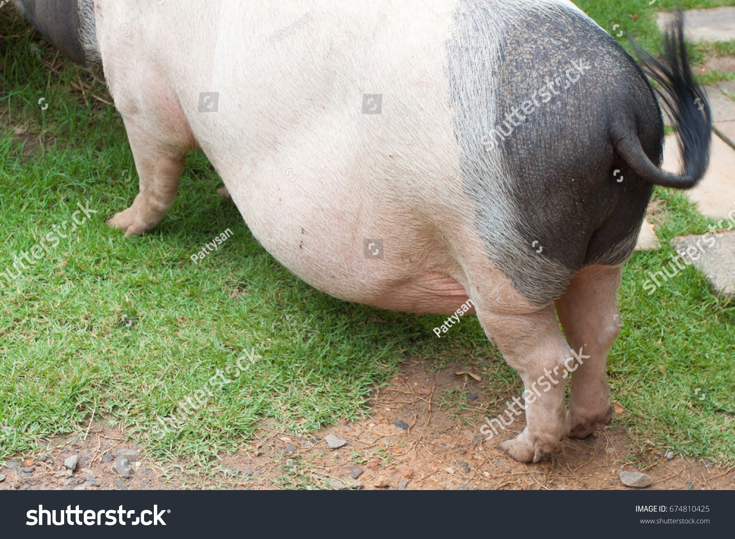 pig ass,fat,back of boar