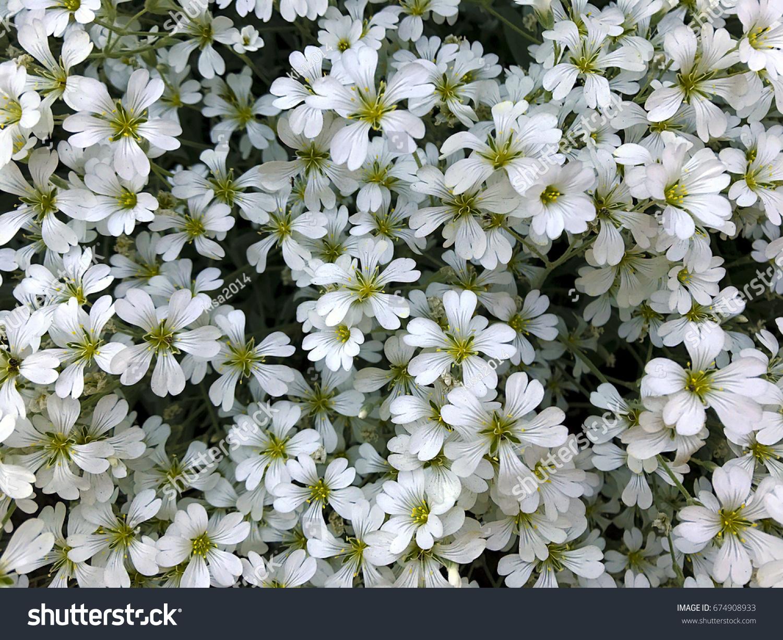 Spring White Flowers Small White Flowers White Flower Background